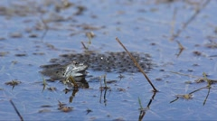 Frog  (Rana temporaria) escapes from the surface of a pond covered with eggs Stock Footage