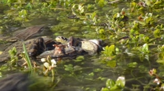 Mountain frogs coupling (Rana temporaria) in a pond Stock Footage
