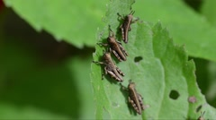 Nymphs of Grasshopper on a leaf Stock Footage