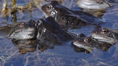 Rana temporaria, frog, mountain frog, Stock Footage