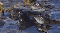 Stock Video Footage of Rana temporaria, frog, mountain frog, coupling, pond, stream, creek, mountain,