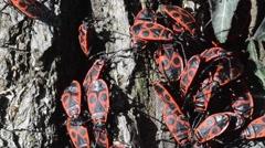 Firebug, Pyrrhocoris apterus, insect, Pyrrhocoridae. gregarious, Emiptera, Stock Footage