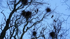 Crow silhouettes flying in woods and nests fast life Stock Footage