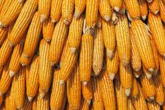Giant pillar made of corn ears in the botany garden - stock photo
