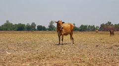 cow trying to graze in a dry field - stock footage