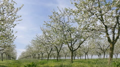 Agriculture, blooming cherry fruit orchard Stock Footage