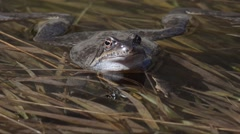 Mountain frog moves the eyes (Rana temporaria) Stock Footage