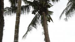 Coconut Falling from the Palm Tree in PALAU Stock Footage