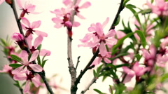 Spring blossom background of pink almond tree on a white sky. - stock footage