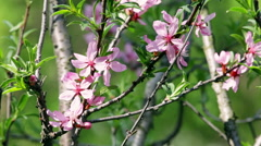 Closeup of pink blooming almond tree in sunny day trembling in the wind. Stock Footage