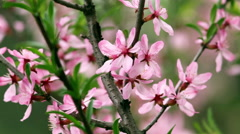 Closeup of pink blooming almond tree. Stock Footage