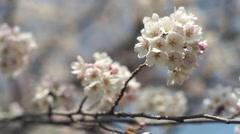 Somei Yoshino cherry blossom white zakura movement. Stock Footage