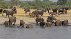 Herd of African elephants at waterhole in national park Hwankee, Botswana Stock Footage