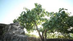 Figs tree. Stock Footage