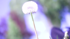 Close up shot of a Dandelion flower head Arkistovideo