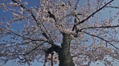 Ancient Somei Yoshino cherry blossoms white zakura tree movement. Stock Footage