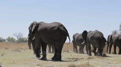 Herd of African elephants in african bush Stock Footage