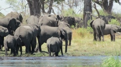 Herd of African elephants on waterhole in african bush Stock Footage