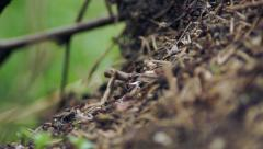 Ants crawling through the woods and work Stock Footage