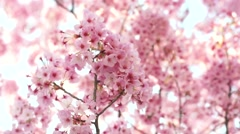 Cherry blossoms pink zakura movement. Stock Footage
