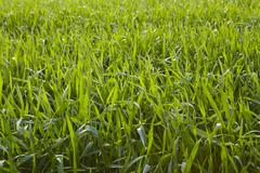 Agriculture - Corn field - stock photo