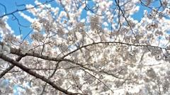 Cherry blossoms white zakura movement. Stock Footage