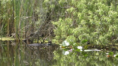 Gator in the Florida Everglades 4K Stock Footage