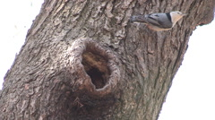 White Breasted Nuthatch Crawling on Tree Trunk Stock Footage