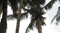 Man Harvests Coconuts at the Top of Palm Tree- PALAU Stock Footage