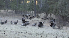 Large Mixed Flock of Turkeys During the Mating Season w/Audio Stock Footage