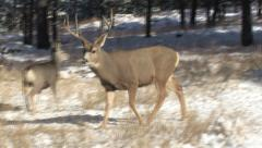 One Three Year Old Buck Intimidates Another - stock footage