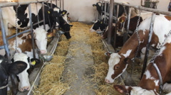 Farming Animals Cattle Cows and  Bulls farm straw - stock footage