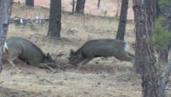 Serious Fight Between Two Mule Deer Bucks Stock Footage