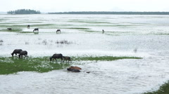 Swamp Buffalo in Thale Noi Stock Footage