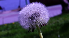 Close-up Of a Dandelion (Taraxacum officinale)  in green grass Arkistovideo