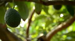 Avocado fruit hanging at tree collected with pole in harvest - stock footage