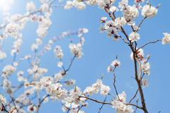 white spring apricot flowers - stock photo