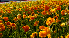 4K Persian Buttercup Flowers 01 Stock Footage