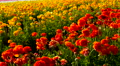 4K Persian Buttercup Flowers 03 4k or 4k+ Resolution