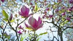 Magnolia soulangeana Stock Footage
