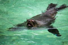 South African Fur Seal, Arctocephalus pusillus - stock photo