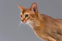 Purebred abyssinian young cat portrait - stock photo