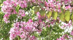 Blossoming orchid or bauhinia purpurea tree Stock Footage