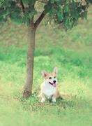 Sweet dog Welsh Corgi Pembroke sitting on the grass near tree, soft vintage p Stock Photos