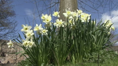 Daffodils at the base of a tree. Stock Footage