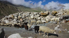 Sheep and goats. Mountain goats, Spiti Valley, Himachal Pradesh, India Stock Footage
