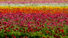 4K Persian Buttercup Flowers 10 Stock Footage