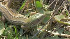 Lacerta agilis  sand lizard sun resting 4K 2160p UHD footage -  Lacerta agili Stock Footage
