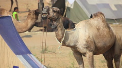 Camel chewing his food at the Pushkar camel fair Stock Footage