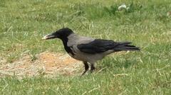 A hooded crow (Corvus cornix) hiding breadin the ground Stock Footage